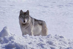 In this photo provided by Adam Messer is a gray wolf, a member of the Nez Perce pack, seen north of Old Faithful in Yellowstone National Park, Wyo., on March 31, 2002. Wolf hunting policies in some U.S. states are taking an aggressive turn as Republican lawmakers and conservative hunting groups push to curb their numbers. Antipathy toward wolves for killing livestock and big game dates to when early European immigrants settled the American West in the 1800s. (Adam Messer via AP)