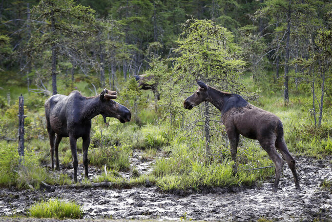 FILE - In this May 31, 2018, file photo, a pair of bull moose face off over rights to patch of mud where they were feeding at the Umbagog Wildlife Refuge in Wentworth's Location, N.H. The Trump administration plans to open up 2.3 million acres of land for hunting and fishing at more than 100 national wildlife refuges and fish hatcheries around the United States under a proposal unveiled Wednesday, April 8, 2020, that is aimed at giving Americans more recreational access on public lands. The proposal would allow fishing for the first time at several national wildlife refuges, including San Diego Bay in California, Alamosa in Colorado, Bombay Hook in Delaware and Umbagog in Maine and New Hampshire and Everglades Headwaters in Florida, according to a list posted online. (AP Photo/Robert F. Bukaty, File)