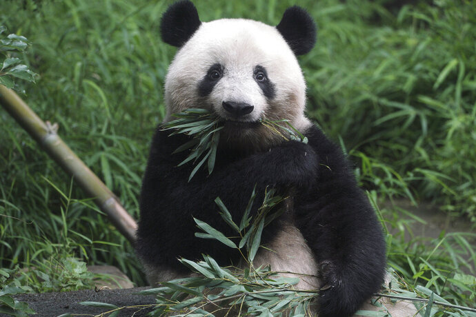 The 3-year old panda cub Xiang Xiang is seen at the reopened Ueno Zoo in Tokyo Tuesday, June 23, 2020. Hundreds of Tokyo residents flocked to Ueno zoo on Tuesday after it reopened for the first time since it closed in February due to coronavirus restrictions. (AP Photo/Eugene Hoshiko)