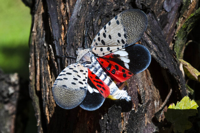FILE - This Sept. 19, 2019, file photo, shows a spotted lanternfly at a vineyard in Kutztown, Pa. Penn State researchers estimate the spotted lanternfly is causing some $50 million in damage per year in the state's hard-hit southeast. (AP Photo/Matt Rourke, File)