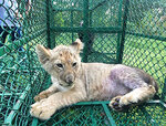 In this photo provided by Interpol on Wednesday July 10, 2019, a lion cub (Panthera Leo), detected in India by the Wildlife Crime Control Bureau and West Bengal Forest Department and on its way to the United Kingdom from Bangladesh, lies in a cage. The World Customs Organization and Interpol said they conducted 1,828 seizures across 109 countries in June and seized nearly 10,000 live turtles and tortoises, 23 live apes, 30 live big cats, hundreds of pieces of elephant tusk, half a ton of ivory and five rhino horns. (Interpol via AP)