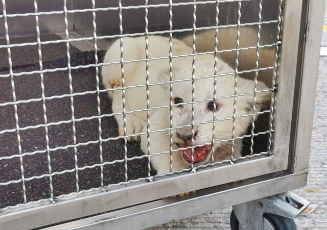 A little lion is sitting in his transport box after being freed from a vehicle after an accident on the A5 motorway near Kronau, Germany, Tuesday, Sept. 8, 2020. A white lion cub was discovered in the trailer of a van following a highway crash  in southwestern Germany, but the 7-month-old female is doing just fine, a zoo that took in the animal said Wednesday. (Rene Priebe/pr-video/dpa via AP)