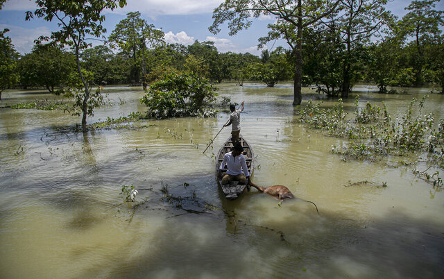 An Indian forest guard on a boat takes away the carcass of a wild buffalo calf through flood water at the Pobitora wildlife sanctuary in Pobitora, Morigaon district, Assam, India, Thursday, July 16, 2020. Floods and landslides triggered by heavy monsoon rains have killed dozens of people in this northeastern region. The floods also inundated most of Kaziranga National Park, home to an estimated 2,500 rare one-horned rhinos. (AP Photo/Anupam Nath)