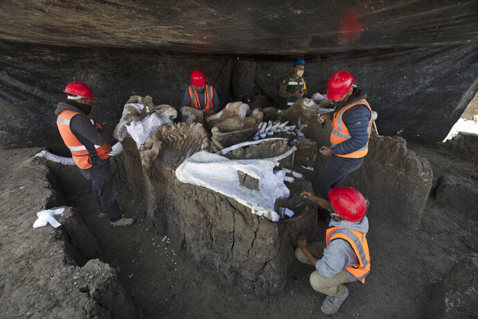 Paleontologists work to preserve the skeleton of a mammoth that was discovered at the construction site of Mexico City's new airport in the Santa Lucia military base, Mexico, Thursday, Sept. 3, 2020. The paleontologists are busy digging up and preserving the skeletons of mammoths, camels, horses, and bison as machinery and workers are busy with the construction of the Felipe Angeles International Airport by order of President Andres Manuel Lopez Obrador. (AP Photo/Marco Ugarte)