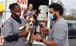 This Nov. 13, 2020 photo provided by Lost Dog and Cat Rescue Foundation shows a handler holding a rescue dog from Georgia in Falls Church, Va.   Kim Williams, who volunteers for the Lost Dog and Cat Rescue Foundation says he has tapped into a puppy pipeline to bring some of Georgia's homeless pet population to the mid-Atlantic region, where demand is outrunning the number of dogs available for adoption.(Kim Williams/The Lost Dog and Cat Rescue Foundation via AP)