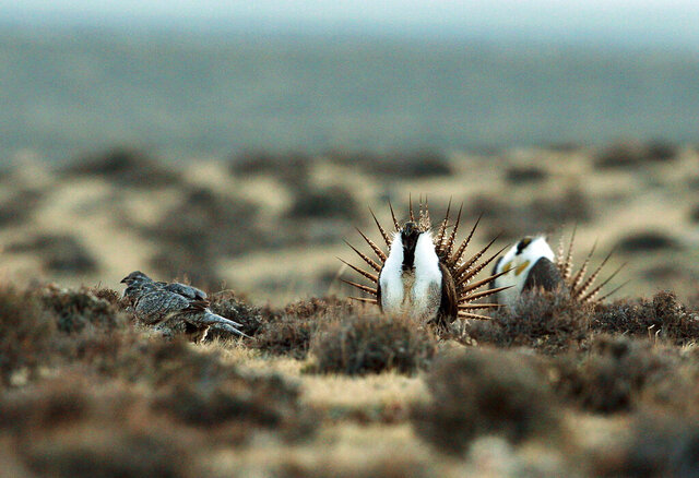 FILE - This April 10, 2014, file photo shows a male sage grouse trying to impress a group of hens, at left, near the base of the Rattlesnake Range in southwest Natrona County, Wyo. The Interior Department, Idaho and Wyoming are appealing a court ruling that halted a Trump administration plan to ease land-use restrictions in seven Western states that protect struggling sage grouse, according to the notices filed Monday, Dec. 16, 2019. (Alan Rogers /The Casper Star-Tribune via AP, File)
