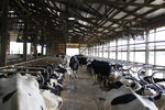 FILE- In this June 29, 2017, file cows stand in stalls at dairy farm in Sauk City, Wis. Americans are not drinking milk like they used to for a number of reasons, the most prevalent being that there is so much more to choose. We've simply diversified our mealtime and snacktime routines. (AP Photo/Carrie Antlfinger, File)