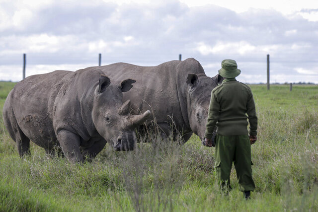 In this photo taken Friday, May 1, 2020, a ranger observes the last remaining two northern white rhinos Fatu, left, and Najin, right, at the Ol Pejeta conservancy in Kenya. The COVID-19 pandemic has brought a new alertness to anti-poaching patrols in Africa, and a new fear: With no tourist revenue coming in poachers might try to take advantage and protecting endangered wildlife has become that much more challenging. (AP Photo/Khalil Senosi)