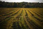 In this Thursday Aug. 15, 2019 photo, hay dries after a recent cut at Stoneridge Farm in Arundel, Maine. The farm has been forced to shut down after sludge spread on the farm land was linked to high levels of PFAS in the milk. (AP Photo/Robert F. Bukaty)