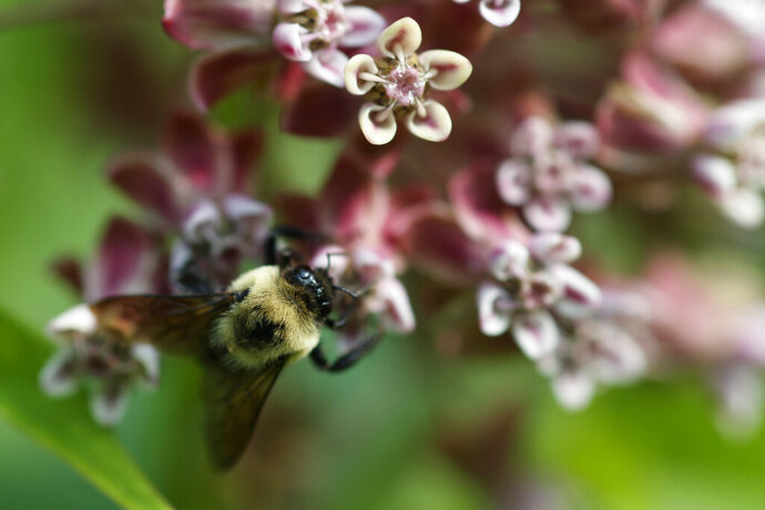 In this June 5, 2019, photo, a bee pollinates a milkweed flower at the USGS Patuxent Wildlife Research Center in Laurel, Md. The Environmental Protection Agency will allow farmers to resume broad use of a pesticide over objections from beekeepers. (AP Photo/Carolyn Kaster)