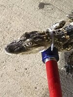 This photo provided by Shaler Township Police shows a  baby alligator has been found in the parking lot of a grocery store near Pittsburgh. Shaler Township, Pa., Police Lt. Dave Banko says an employee found the 2-foot-long creature Friday, July 19, 2019 near a garbage can at the Giant Eagle grocery store. The police department posted on its Facebook page that reptile's owner should send them a message. Paul McIntyre, of Big Daddy Wildlife Removal, says the animal was healthy, docile and seems like a pet.  (Shaler Township Police via AP)