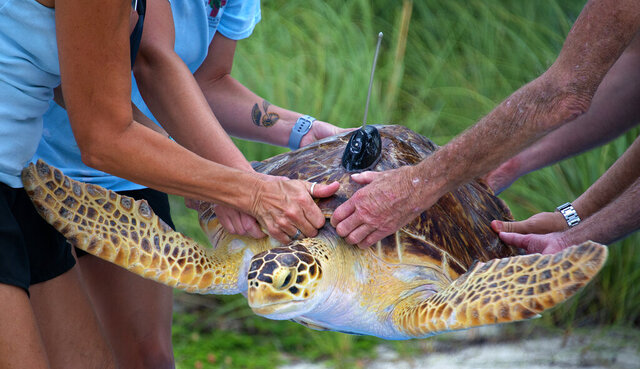 In this photo provided by the Florida Keys News Bureau, staff from The Turtle Hospital and the Sea Turtle Conservancy carry