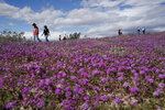 In this Wednesday, March 6, 2019, photo, people walk among wildflowers in bloom near Borrego Springs, Calif. Two years after steady rains sparked seeds dormant for decades under the desert floor to burst open and produce a spectacular display dubbed the