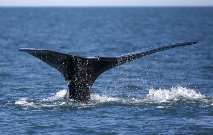 FILE - In this March 28, 2018, file photo, a North Atlantic right whale surfaces in Cape Cod bay off the coast of Plymouth, Mass. The Maine Department of Marine Resources' proposal in 2020 for protecting endangered right whales from entanglements in lobster gear would maintain the status quo in the inshore waters, where most traps are located, while reducing the number of trap lines farther offshore. (AP Photo/Michael Dwyer, File)