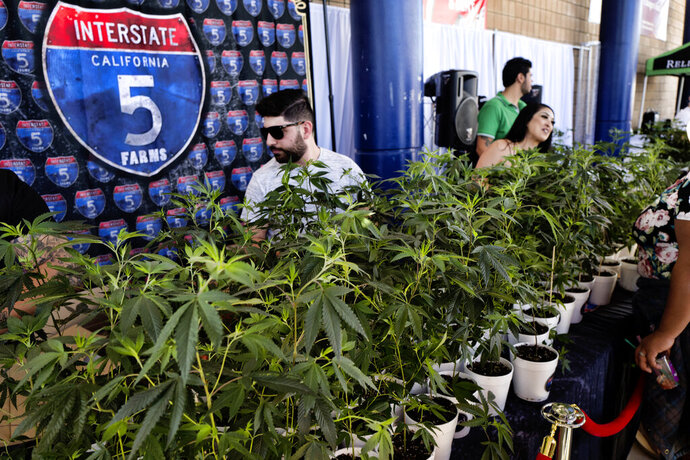 FILE - In this Oct. 20, 2018, file photo, marijuana clone plants are displayed for sale by Interstate 5 Farms at the cannabis-themed Kushstock Festival at Adelanto, Calif. California's legal pot market is growing, just not as fast as once expected. The state pulled in $74 million in cannabis excise taxes between April and June, after the Newsom administration in May sharply scaled back projected tax dollars from the shaky legal market. The figure released Thursday, Aug.22, 2019, marked an increase from the first quarter, when excise tax collections hit $61 million.(AP Photo/Richard Vogel, File)