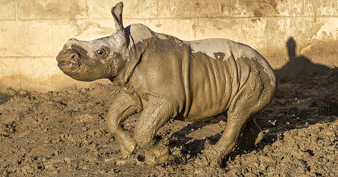 This Monday, Dec. 9, 2019 photo from the San Diego Zoo shows a 19-day old white rhino that has been named Future for what the baby represents to rhino conservation worldwide, at San Diego Zoo Safari Park in Escondido, Calif. The calf is bonding with her mother and frolicking in the maternity yard left wet by recent storms.