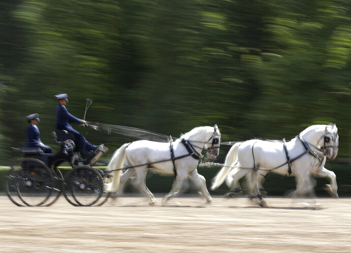 In this photo taken on Thursday, July 11, 2019, horses pull a carriage at a stud farm in Kladruby nad Labem, Czech Republic. UNESCO this month added a Czech stud farm to its World Heritage List, acknowledging the significance of a horse breeding and training tradition that has survived centuries. Founded 440 years ago to breed and train ceremonial horses to serve at the emperor's court, the National stud farm and its surrounding landscape have kept its original purpose since. (AP Photo/Petr David Josek)