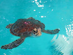 A sea turtle swims in a tank at the Sea Turtle Recovery hospital inside the Turtle Back Zoo in West Orange, N.J. on Feb. 27, 2020. Eleven of the dozen turtles being treated there survived being