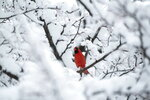 A cardinal sits in the snow-laden branches of a tree during a major snowstorm in Ottawa on Saturday, Jan. 16, 2021.   (Justin Tang/The Canadian Press via AP)