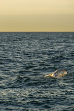 This undated photo shows American swimmer Sarah Thomas, 37, swim the English Channel. The American cancer survivor has become the first person to swim across the English Channel four times in a row completing the remarkable feat Tuesday morning Sept. 17, 2019, after more than 54 hours of swimming. (Jon Washer via PA via AP)