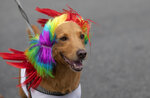 A dog named Capitao is dressed for carnival while participating in the