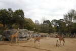 A two-month-old giraffe sits in her enclosure at the Chapultepec Zoo in Mexico City, Sunday, Dec. 29, 2019. The Mexico City zoo is celebrating its second baby giraffe of the year. The female giraffe was unveiled this week after a mandatory quarantine period following her Oct. 23 birth. She will be named via a public vote. (AP Photo/Ginnette Riquelme)