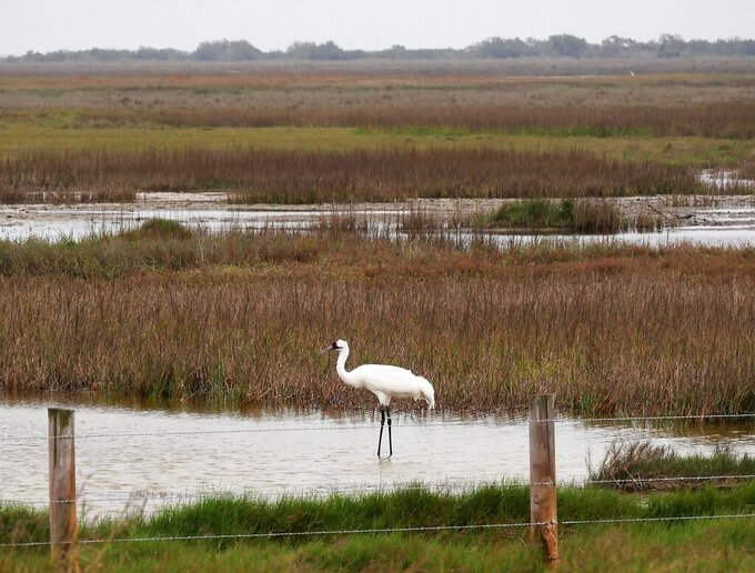 This Monday, Feb. 8, 2021 photo provided by Liz Smith of the International Crane Foundation, shows a whooping crane at the Aransas National Wildlife Refuge in Texas. The coronavirus pandemic has canceled this year's flights to count the only natural flock of whooping cranes — the first time in 71 years that crews in Texas couldn't make an aerial survey of the world's rarest cranes. Liz Smith said she photographed the same crane several years ago, and it is probably at least 38 years old. (Liz Smith/International Crane Foundation via AP)