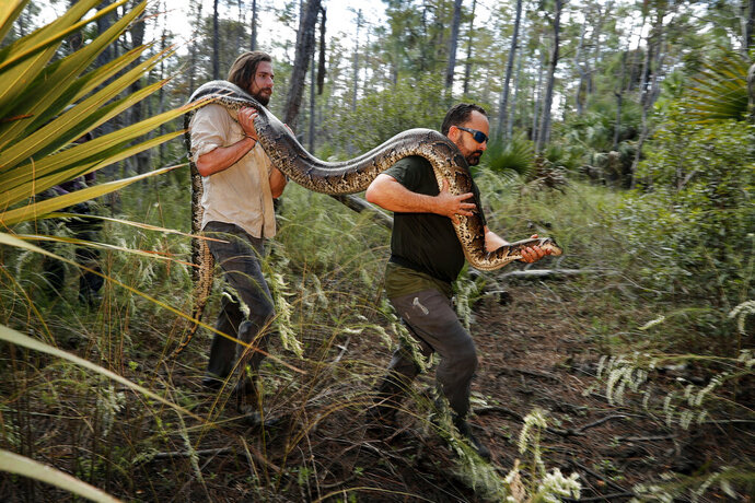 In this Wednesday, Oct. 23, 2019, photo, Ian Bartoszek, right, and Ian Easterling carry a 14-foot, 95-pound, female Burmese python out of an upland habitat in Naples, Fla. A male python fitted with a radio transmitter implant led them to the female a couple yards from an upscale housing development. (AP Photo/Robert F. Bukaty)