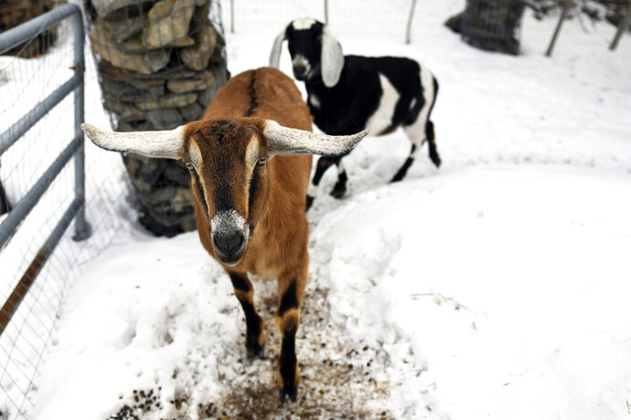 Lincoln, a Nubian goat, runs around with pasture mate Lucy at their home in Fair Haven, Vt. Lincoln was recently elected