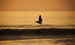 A brown pelican flies over the glassy ocean at the north end of Virginia Beach, Va., as the sun begins to rise, Monday, Aug. 30, 2021. Squadrons of brown pelicans glide over the ocean at Virginia Beach's North End on most summer mornings. Their pointy beaks and grayish-brown wings stand out against the blue horizon. They are latecomers to Virginia — breeding here was first documented in 1987 — and now they savor the state's fish-rich coastal waterways.(L. Todd Spencer/The Virginian-Pilot via AP)