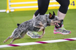 Plop, an all American dog, competes during the finals of the agility competition at the Westminster Kennel Club dog show in Tarrytown, N.Y., Friday, June 11, 2021. (AP Photo/Mary Altaffer)