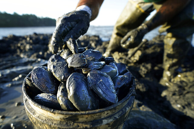Clams are placed into a bucket by digger Mike Soule, Friday, Sept. 4, 2020, in Freeport, Maine. America's industry for the wild harvesting of softshell clams is located almost entirely in Maine and Massachusetts. (AP Photo/Robert F. Bukaty)