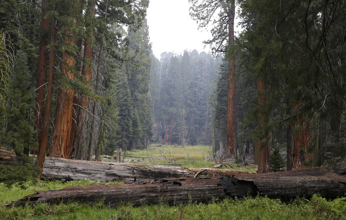 FILE - In this Sept. 11, 2015, file photo, giant Sequoia trees are seen in a meadow in the at Sequoia National Park near Visalia, Calif. Sequoia National Park was shut down and its namesake gigantic trees were under potential threat Tuesday, Sept. 14, 2021, as forest fires burned in steep and dangerous terrain in California's Sierra Nevada. The Colony and Paradise fires were ignited by lightning last week and were being battled collectively as the KNP Complex. (AP Photo/Rich Pedroncelli, File)