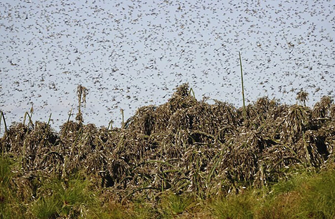In this undated photo provided by the Food and Agriculture of the United Nations (FAO) on Friday, Sept. 4, 2020, locusts swarm near Gaborone, Botswana. FAO is working with the Southern African Development Community (SADC) and the International Red Locust Control Organization for Central and Southern Africa (IRLCO-CSA) to control African Migratory Locust outbreaks which are threatening food security and livelihoods in Botswana, Namibia, Zambia and Zimbabwe. (Food and Agriculture Organization of the United Nations via AP)