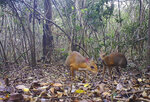 In this Jun. 6, 2018 photo, two silver-backed chevrotains were captured by a camera trap in an undisclosed forest in south central Vietnam. The species, commonly known as Vietnamese mouse deer, was rediscovered after 30 years. (Southern Institute of Ecology/Global Wildlife Conservation/Leibniz Institute for Zoo and Wildlife Research/NCNP via AP)