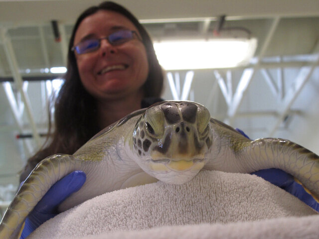 In this Feb. 27, 2020 photo, Brandi Biehl, co-director of the Sea Turtle Recovery hospital inside the Turtle Back Zoo in West Orange, N.J. examines a sea turtle. Eleven of the dozen turtles being treated there survived being