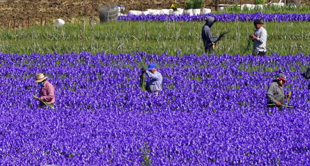 Workers tend to a field of flowers, Thursday, April 23, 2020, in Oxnard, Calif., durin the coronavirus outbreak. (AP Photo/Mark J. Terrill)