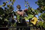 A worker harvests Petit Verdot grapes in the vineyard of Casale del Giglio, in Latina, near Rome, Wednesday, Sept. 16, 2020.  Change can come slowly to Italy's centuries-old wine industry, but in a matter of months the global pandemic radically altered the path from vine to table, beginning with the fall harvest. (AP Photo/Alessandra Tarantino)