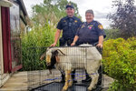 In this Friday, Oct. 4, 2019 photo, Ashland County sheriff's deputies pose with a goat the removed from a home in Sullivan Township, Ohio. The goat named