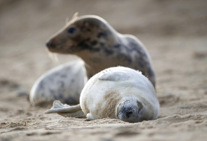 A grey seal and her pup on the beach at Horsey Gap in Norfolk, England, Sunday Jan. 10, 2021.  A worldwide group are participating in a one-day video conference Monday Jan. 11, 2021, entitled the One Planet Summit aimed at protecting the world's biodiversity, including protection of marine ecosystems. (Joe Giddens/PA via AP)