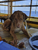 In this Friday, April 12, 2019, photo, a dog is being fed by an oil rig crew after the dog was rescued in the Gulf of Thailand.