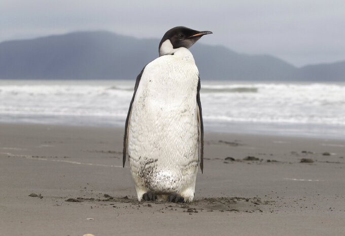 FILE - In this June 21, 2011 file photo, an Emperor penguin stands on Peka Peka Beach of the Kapiti Coast in New Zealand. With climate change threatening the sea ice habitat of Emperor penguins, the U.S. Fish and Wildlife Service on Tuesday, Aug. 3, 2021, announced a proposal to list the species as threatened under the Endangered Species Act. (Mark Mitchell/New Zealand Herald via AP, File)