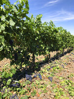 This Aug. 12, 2019 photo shows wine grapes growing amid the stones in the River Rock Vineyard in Milton-Freewater, Oregon.  Southeastern Washington has been producing high-quality wines for decades. But in the past five years, the wineries of the Walla Walla Valley have drawn international accolades for the reds produced from the unique soil just across the border in Oregon.(AP Photo/Sally Carpenter Hale)
