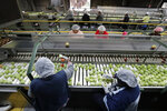 In this, Wednesday, Feb. 5, 2020 photo workers sort through tomatoes after they are washed before being inspected and packed, in Florida City, Fla. A Florida bill mandating that private companies verify each new hire's eligibility to work in the U.S. is worrying farmers in the agriculture-rich state. The growers complain they are struggling to find farm workers as the unemployment rate reaches record lows. (AP Photo/Wilfredo Lee)
