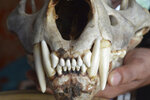This June 2015 photo provided by the Wildlife Trust of India shows a tiger skull that was seized by Indian law enforcement authorities at the border with Bhutan. Authorities in India are concerned a 2020 spike in poaching not only could kill more endangered tigers and leopards but also species these carnivores depend upon to survive. (Jose Louies/WTI via AP)