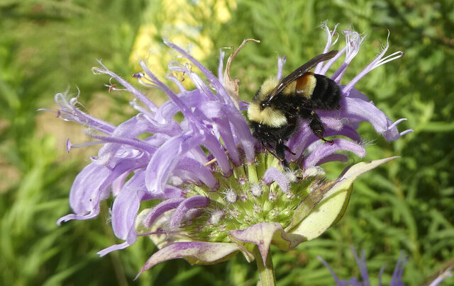 FILE - This 2016 file photo provided by The Xerces Society shows a rusty patched bumblebee in Minnesota, which was officially designated an endangered species March 21, 2017. Federal regulators said Monday, Aug. 31, 2020, they won't designate critical habitat for the rusty patched bumblebee, the first bee species in the continental U.S. to be listed as endangered. The U.S. Fish and Wildlife Service said the species can get along without having specially protected habitat, even though its population has dropped 90% in the past two decades. (Sarah Foltz Jordan/The Xerces Society via AP, File)