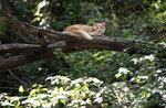 """A cat rests on a tree branch on Furtada Island, popularly known as """"Island of the Cats,"""" in Mangaratiba, Brazil, Tuesday, Oct. 13, 2020. Volunteers are working to ensure the stray and feral cats living off the coast of Brazil have enough food after fishermen saw the animals eating others' corpses, an unexpected consequence of the coronavirus pandemic after restrictions forced people to quarantine, sunk tourism, shut restaurants that dish up seafood and sharply cut down boat traffic around the island. (AP Photo/Silvia Izquierdo)"""