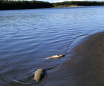 This July 2019 photo provided by Peter Westley shows carcasses of chum salmon lie along the shore of the Koyukuk River near Huslia, Alaska. Alaska scientists and fisheries managers are investigating the deaths of salmon that may be tied to the state's unusually hot, dry summer. July was the hottest month ever recorded in Alaska. (Peter Westley, University of Alaska Fairbanks via AP)