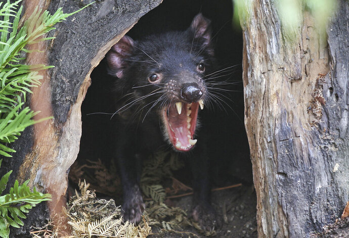 FILE - In this Dec. 21, 2012, file photo, Big John the Tasmanian devil growls from the confines of his tree house as he makes his first appearance at the Wild Life Sydney Zoo in Sydney. Tasmanian devils, the carnivorous marsupials whose feisty, frenzied eating habits won the animals cartoon fame, have returned to mainland Australia for the first time in some 3,000 years. Conservation groups have recently released some cancer-free devils in a wildlife refuge on the mainland, and they plan to release more in the coming years. Their hope is that the species will thrive and improve the biodiversity.  (AP Photo/Rob Griffith, File)