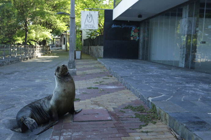 In this May 2, 2020 photo, a sea lion sits outside a hotel that is closed because of the new coronavirus pandemic, in San Cristobal, Galapagos Islands, Ecuador. The majority of the island hotels are usually occupied throughout the year, but all reservations have been canceled through July.(AP Photo/Adrian Vasquez)